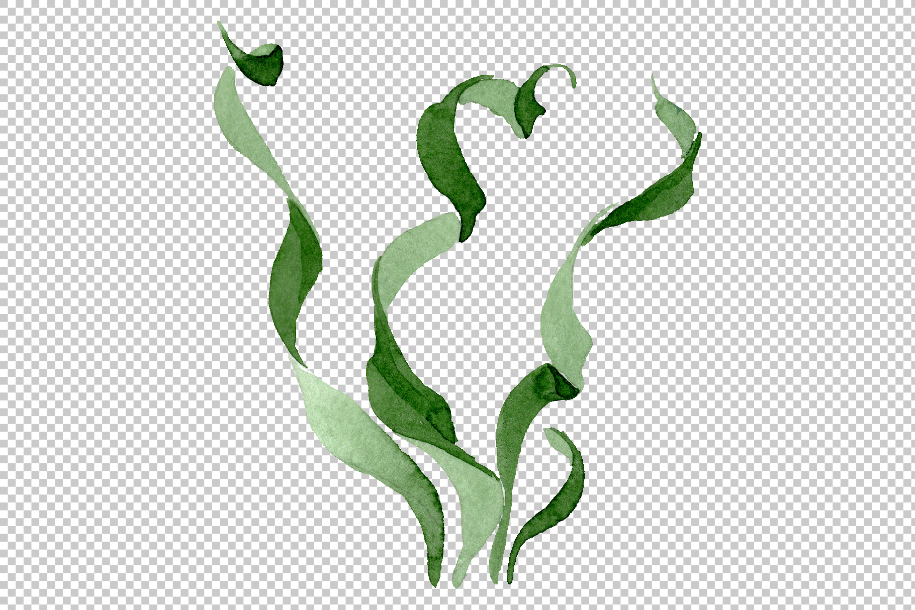 Albuca canadensis Watercolor png example image 12