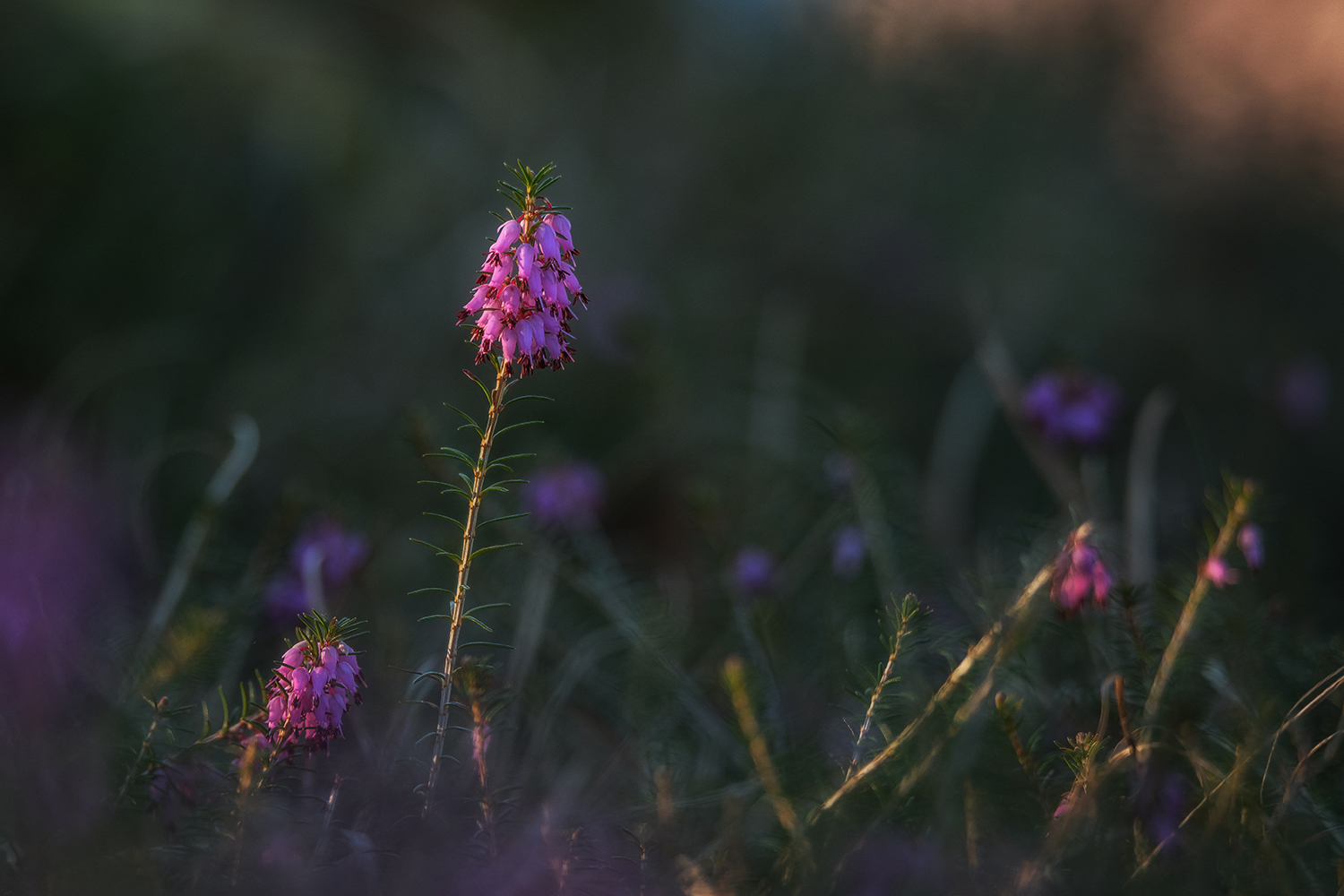 Erica flower in a dark background example image 1