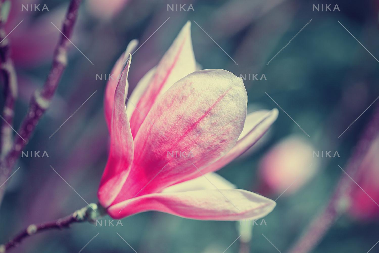 Set photos of spring flowering Magnolia. example image 4