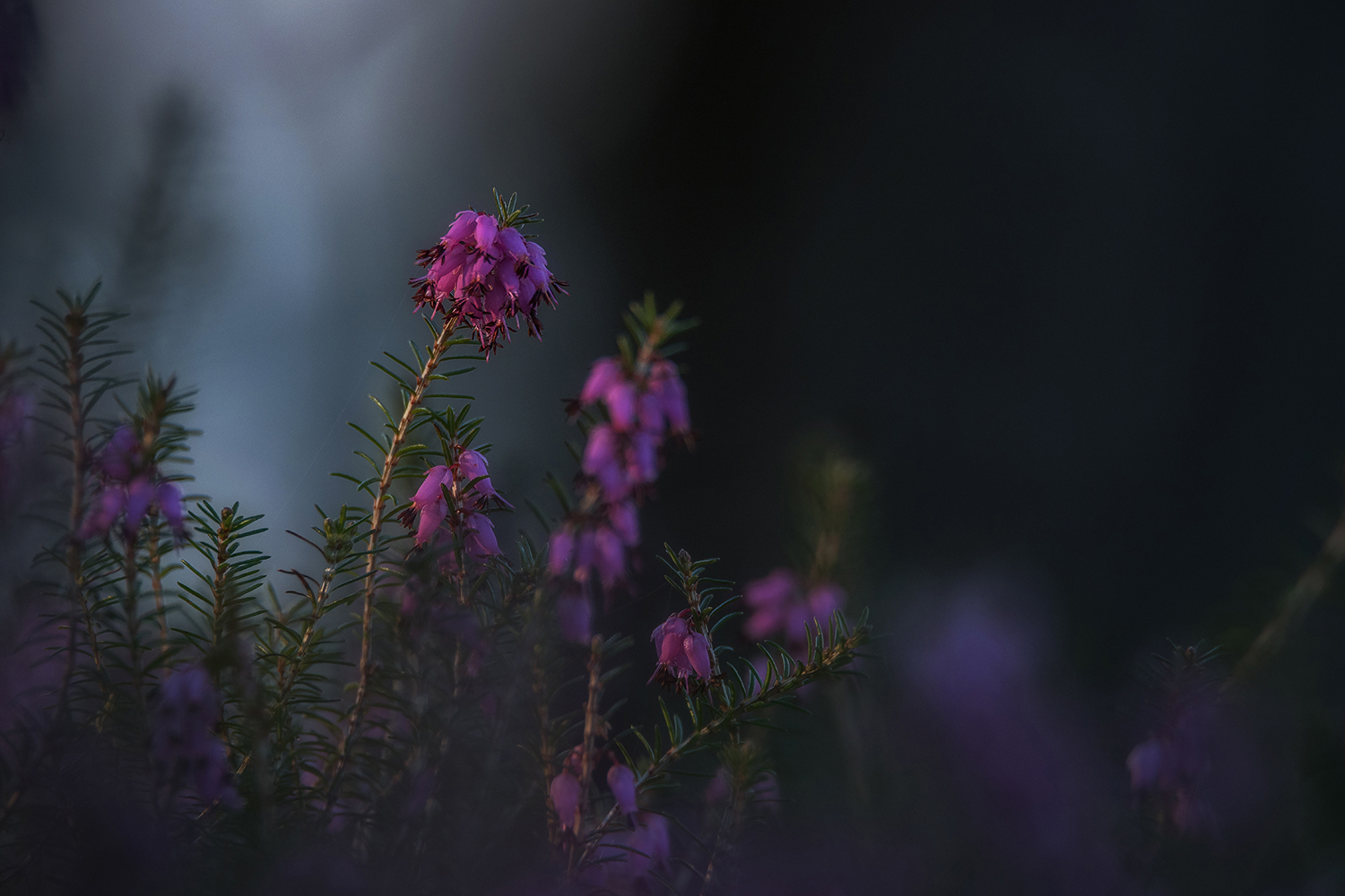 Erica plant in a dark mood example image 1