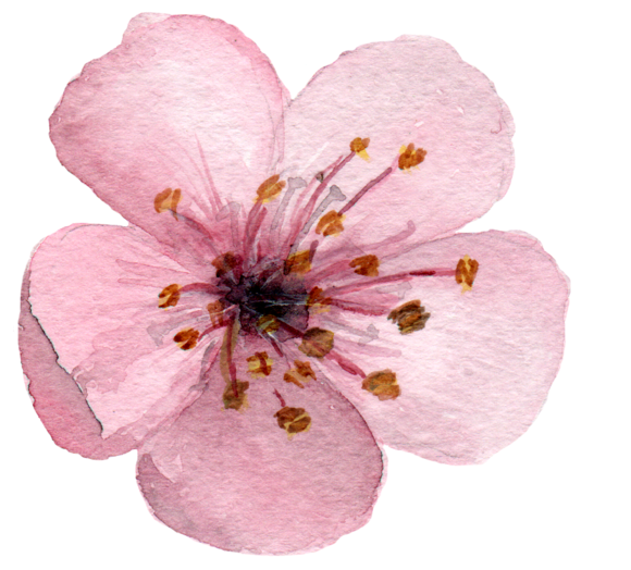 17 Watercolor Cherry Blossom ClipArt example image 4