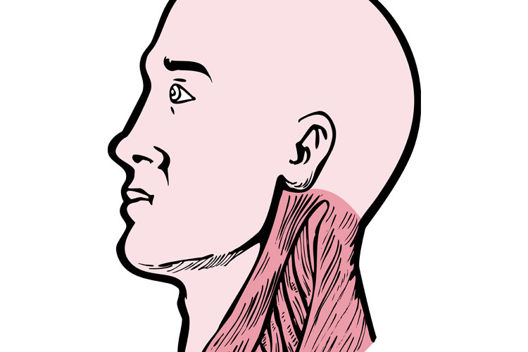 human anatomy head neck muscles example image 1