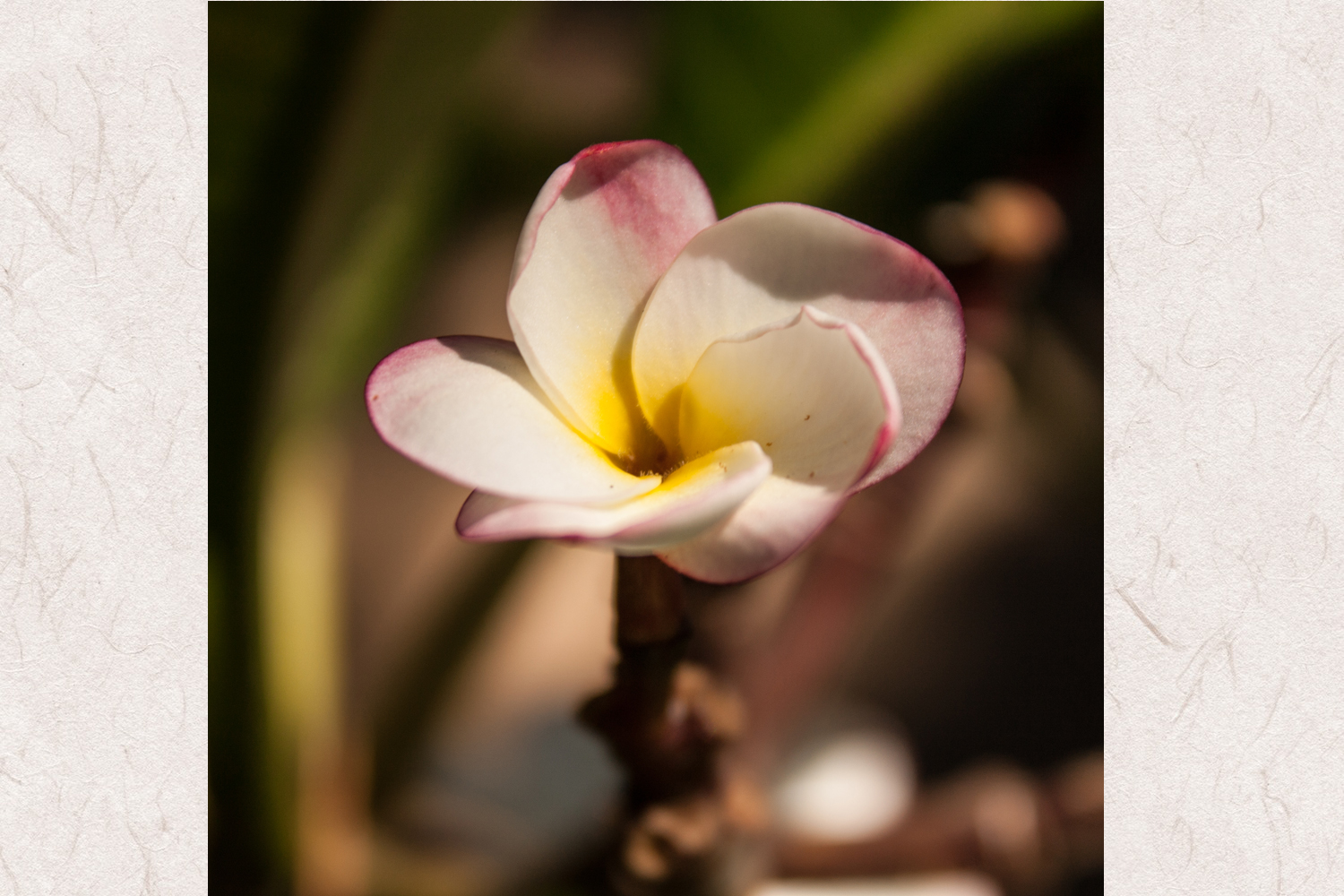 Plumeria flower photo 3 example image 1