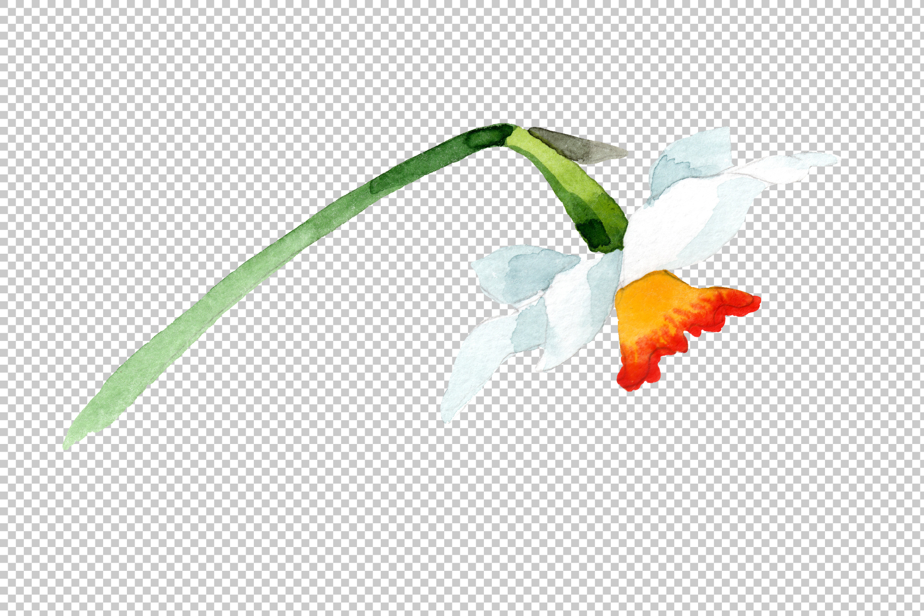White narcissus Watercolor png example image 10