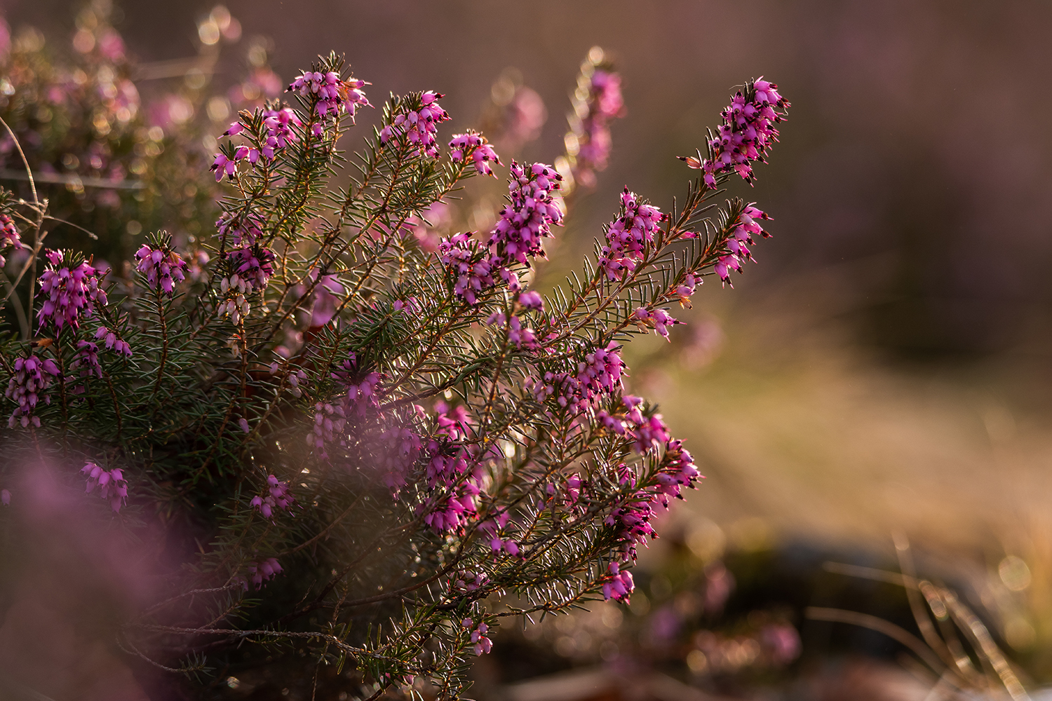 Small pink flowers called Erica example image 1
