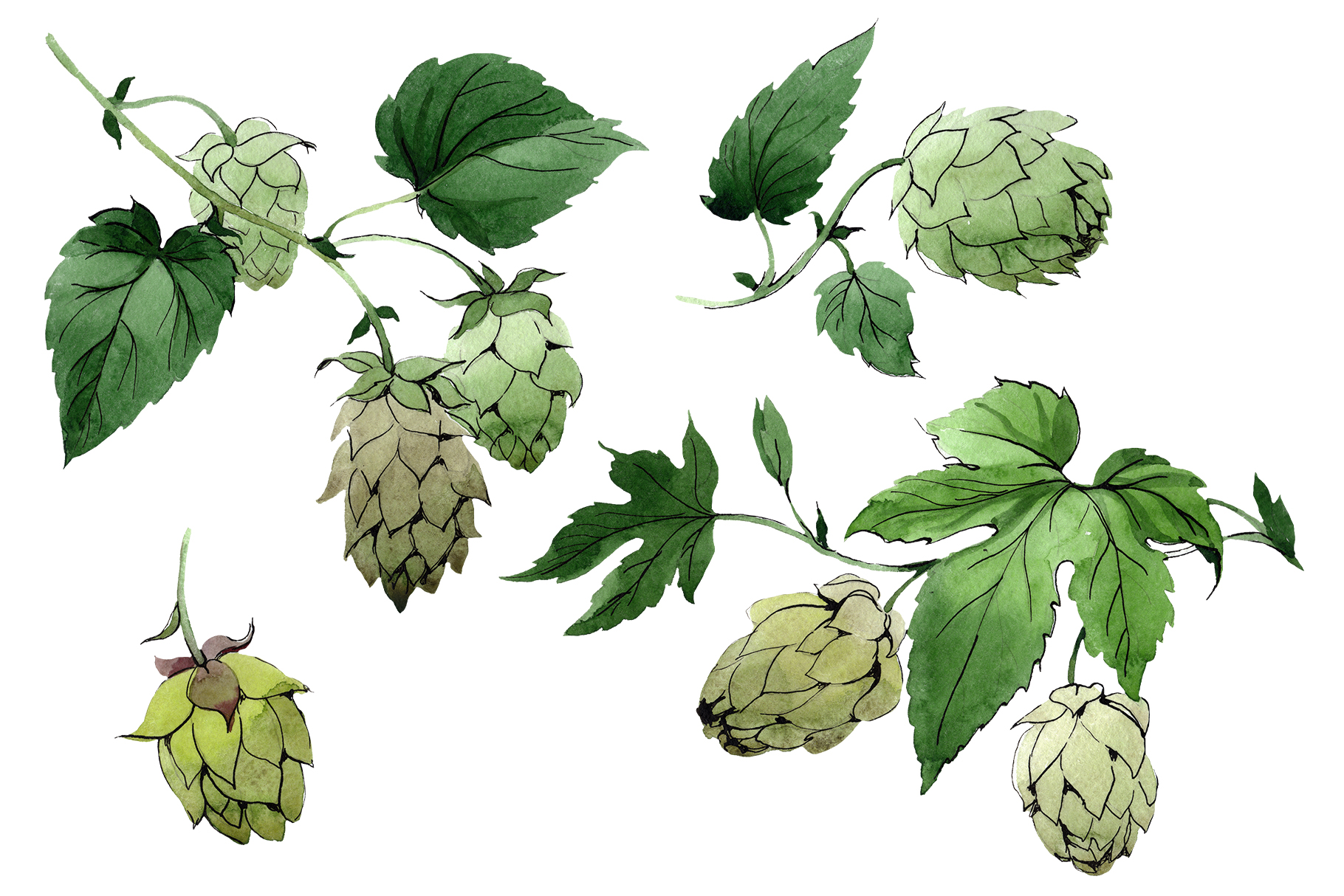 Green watercolor hops png set example image 1