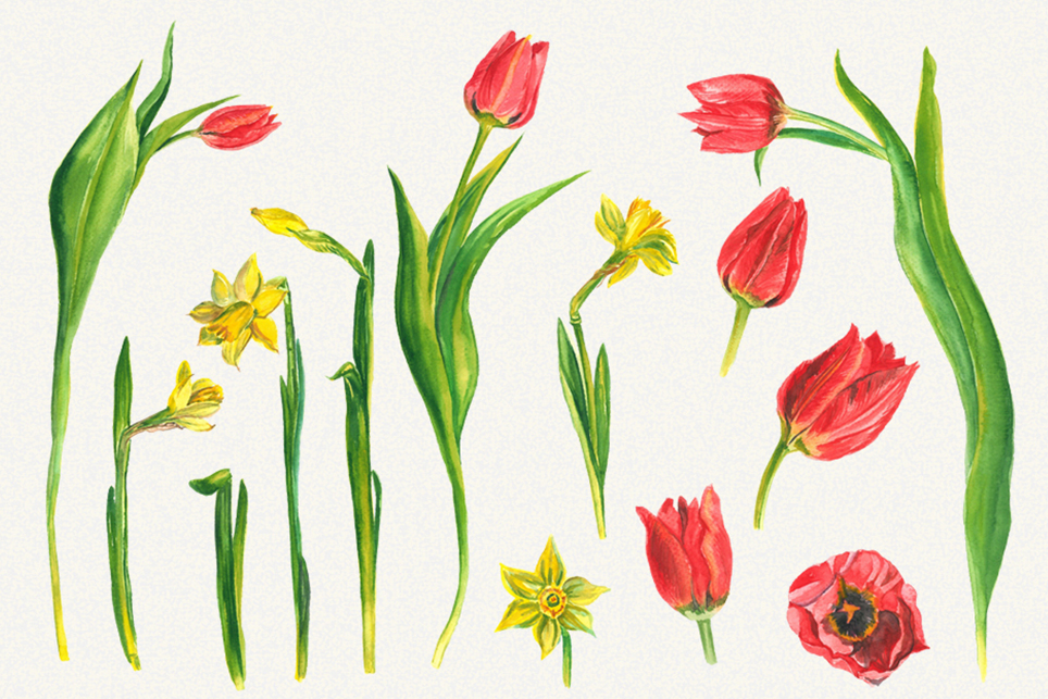 Spring flower clipart, Tulip clipart, narcissus clipart example image 2