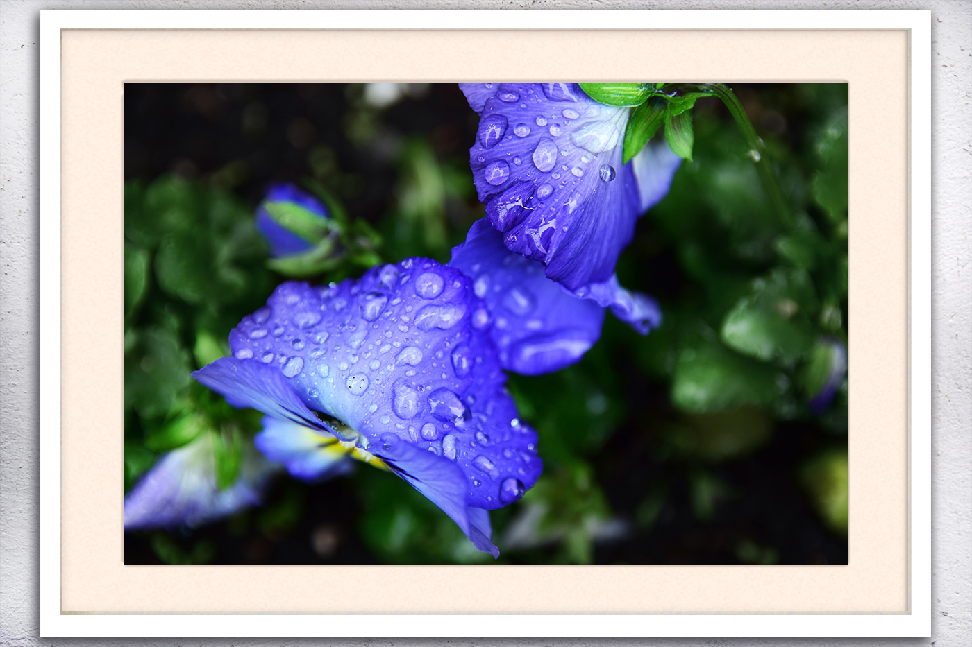 Nature photo, floral photo, spring photo, pansies photo example image 3