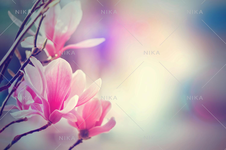 Set photos of spring flowering Magnolia. example image 6