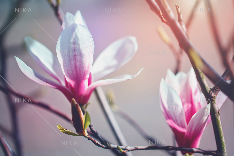Set photos of spring flowering Magnolia. example image 9
