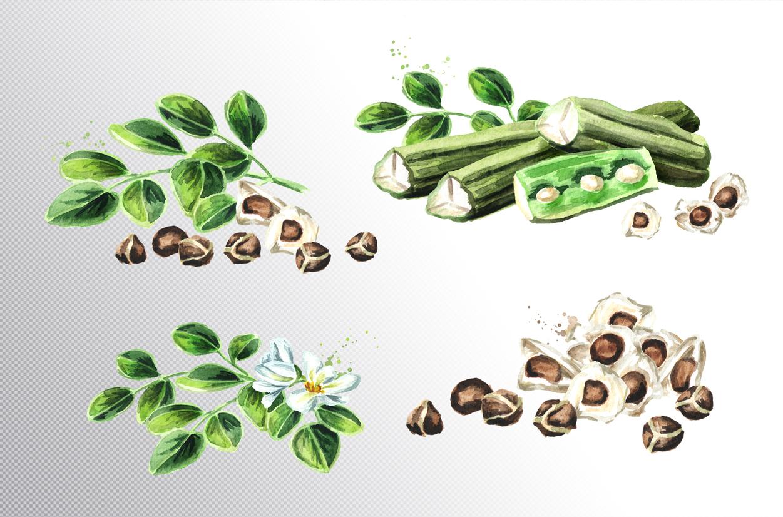 Moringa. Watercolor collection example image 2