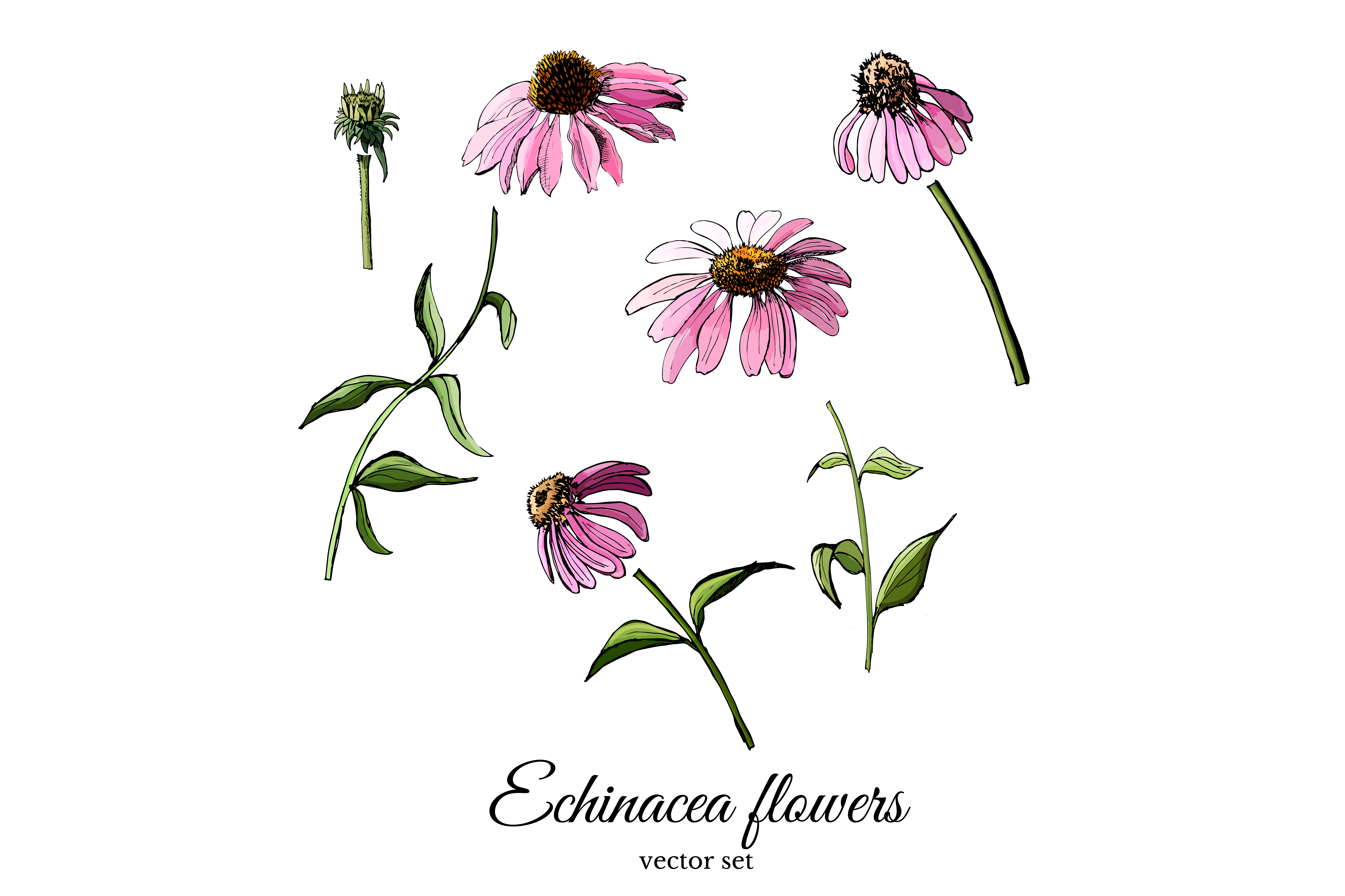 Set with sketches of echinacea flowers.  example image 3