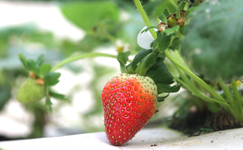 Strawberry example image 2