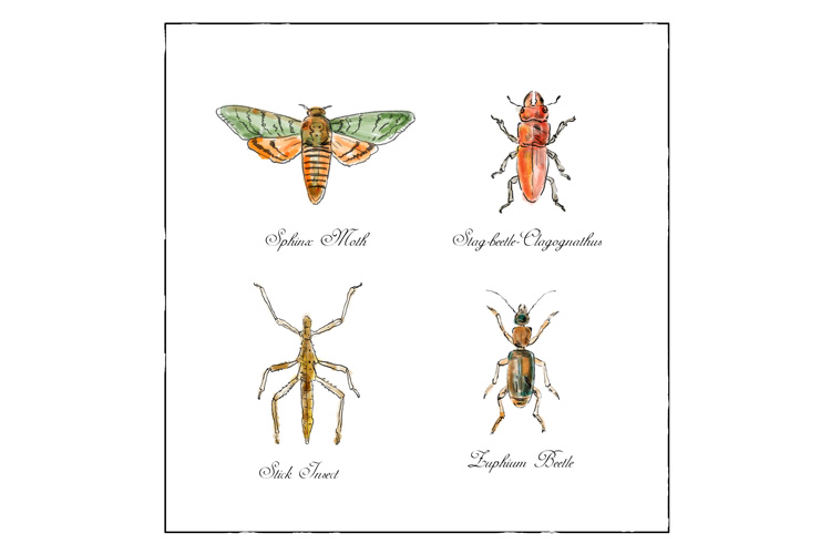 Sphinx Moth, Stag beetle, Stick Insect and Zuphium Beetle example image 1