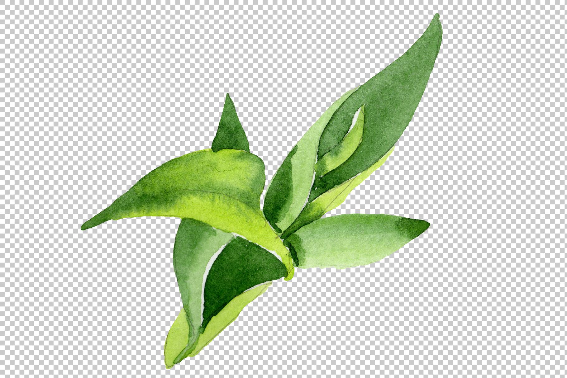 Bamboo Sanderica Drazen Watercolor png example image 5