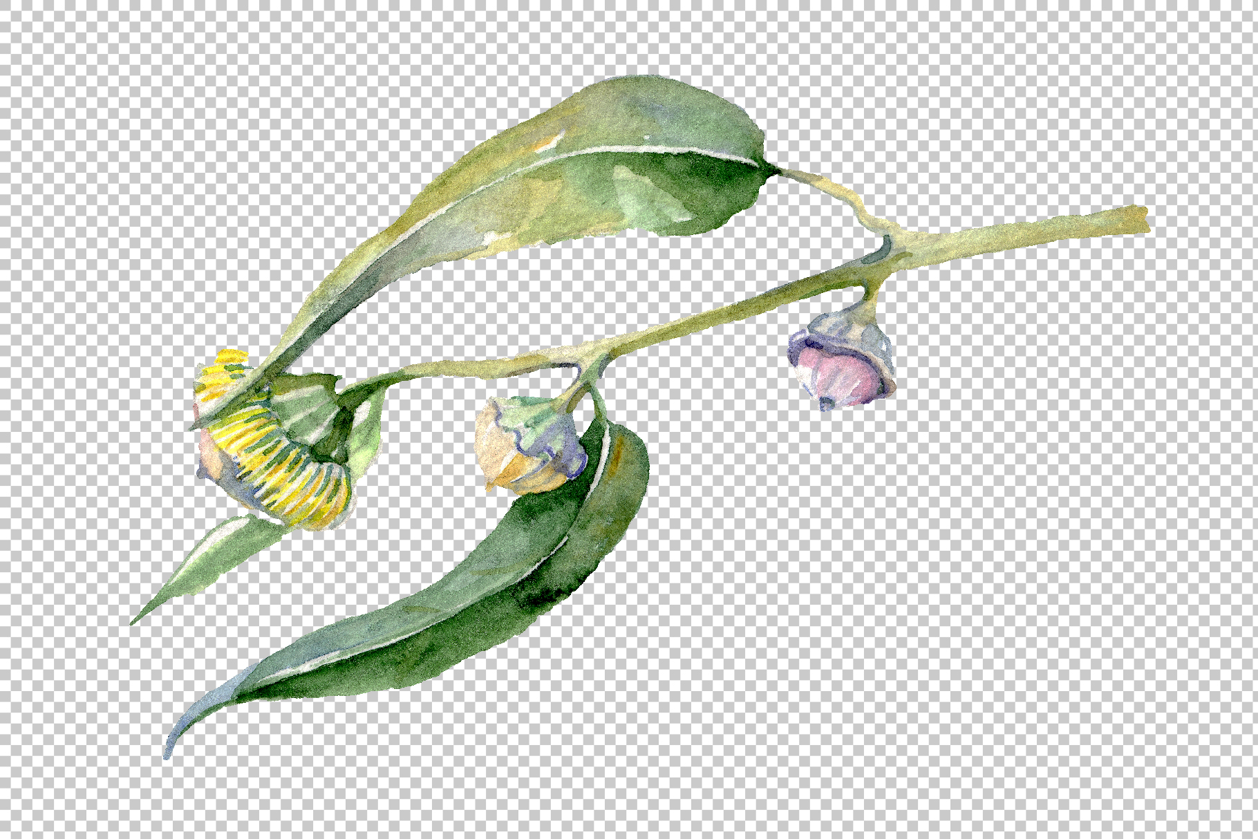 Eucalyptus Watercolor png example image 6
