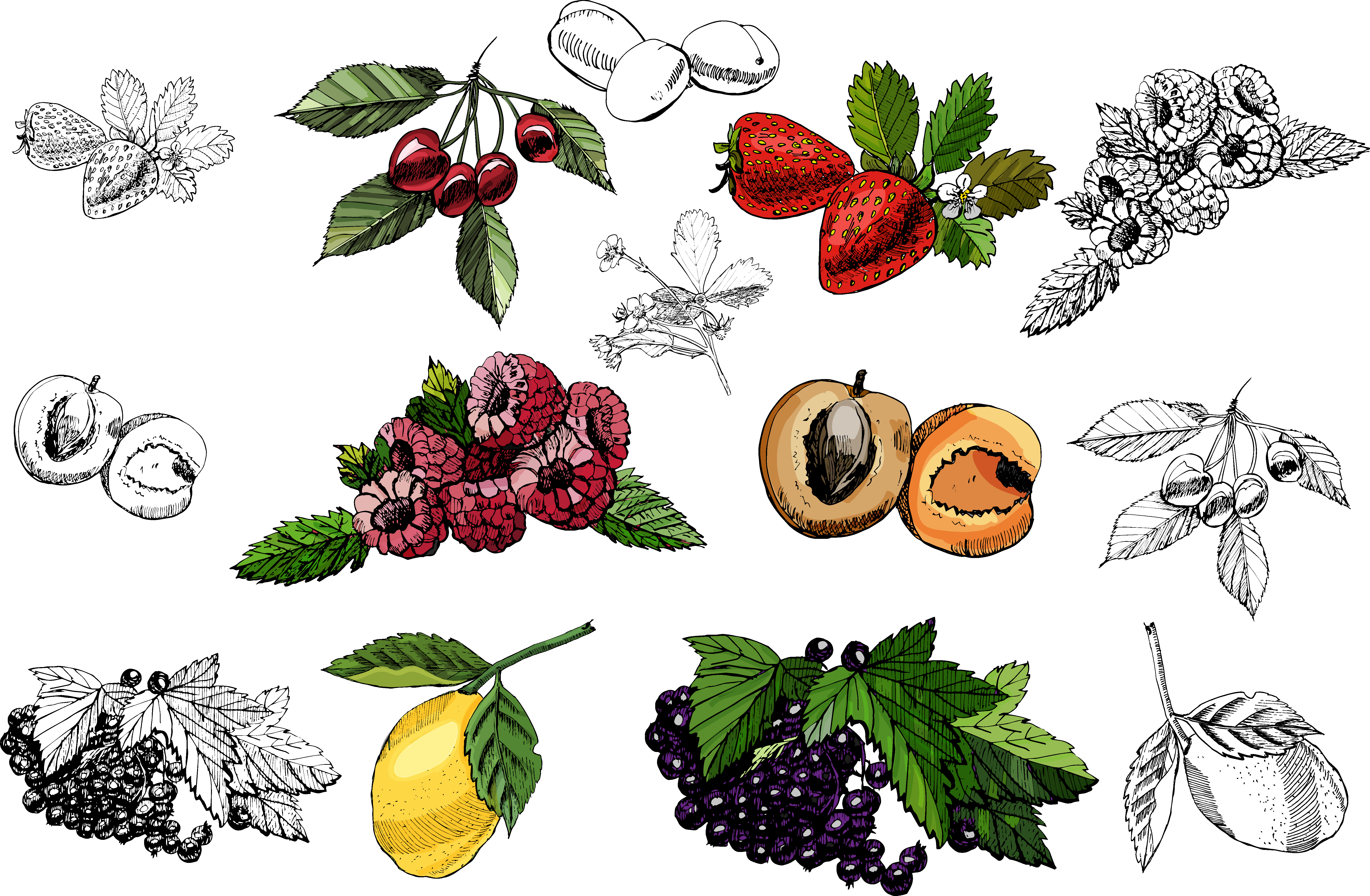Bundle with sketches of berries and fruits ink and colored. example image 2