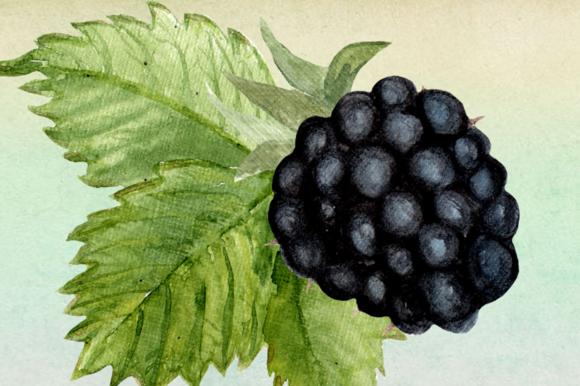 Watercolor Blackberries Clip Art example image 2