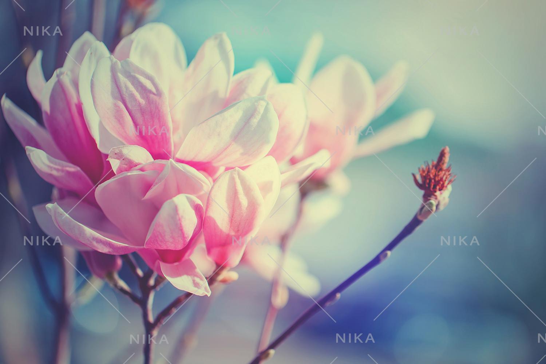 Set photos of spring flowering Magnolia. example image 7