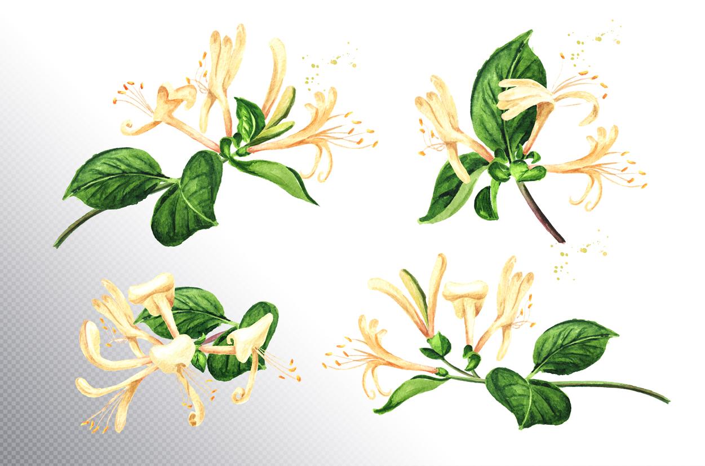 Honeysuckle. Watercolor set example image 2