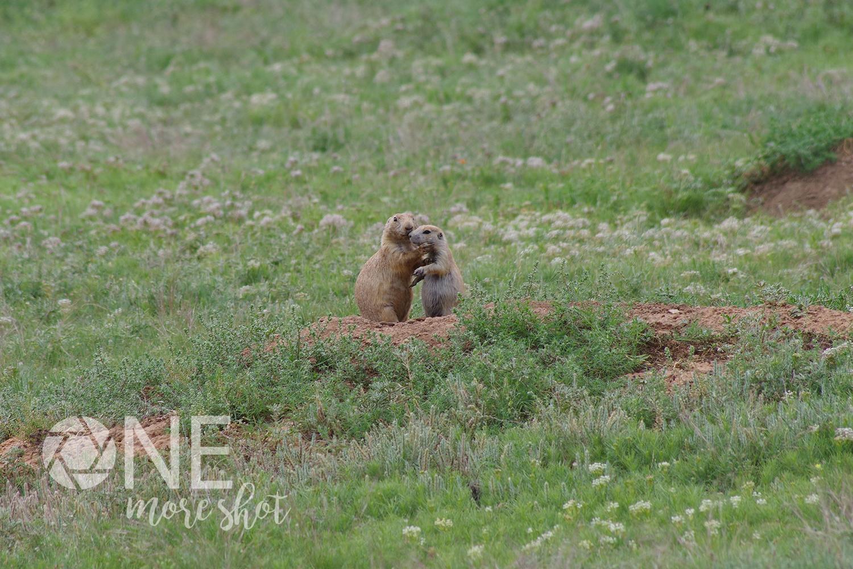 Prairie Dogs Devils Tower South Dakota Stock Photo example image 1
