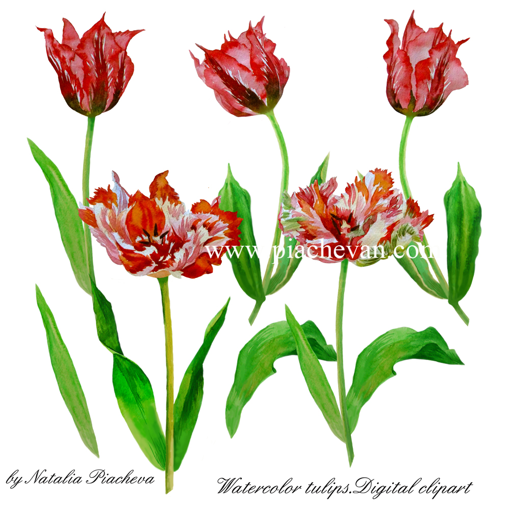 Red and Colored Tulips. Watercolor Clip Art example image 6