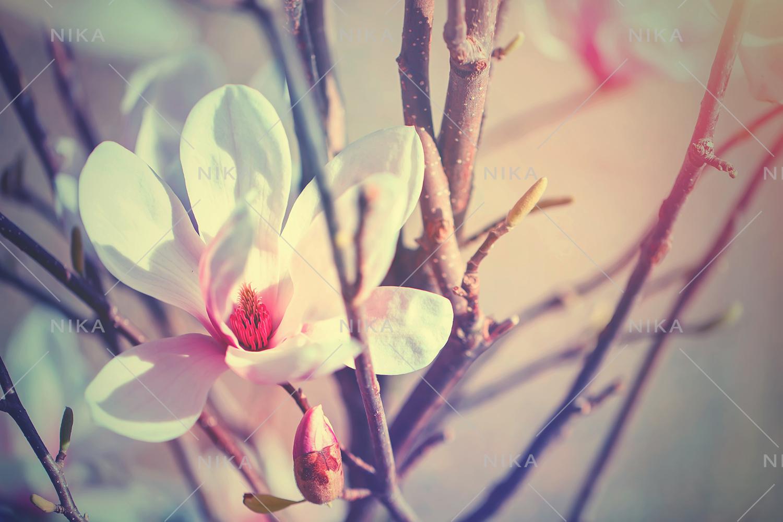 Set photos of spring flowering Magnolia. example image 10