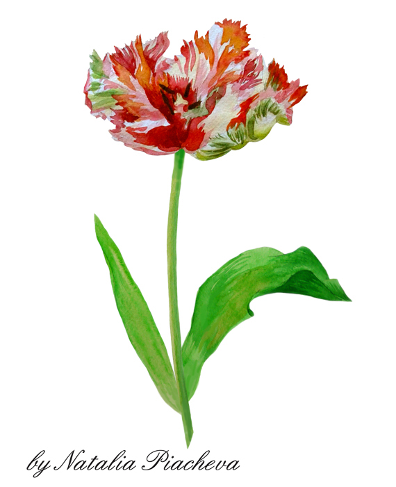 Red and Colored Tulips. Watercolor Clip Art example image 5