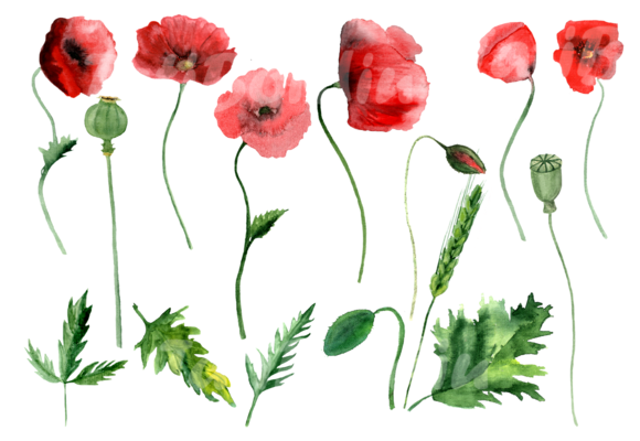 16 Watercolor Poppies Clip Art example image 2