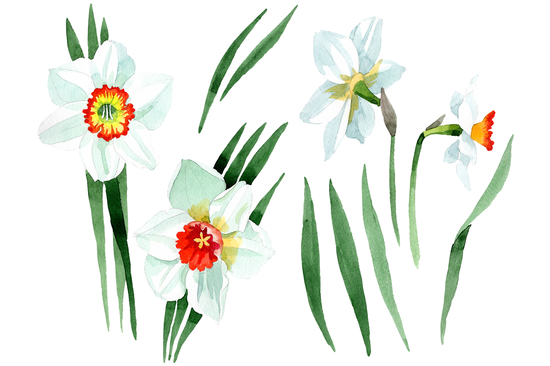 White narcissus Watercolor png example image 1