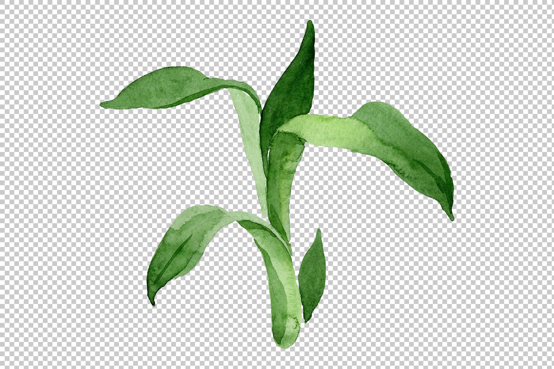 Bamboo Sanderica Drazen Watercolor png example image 2