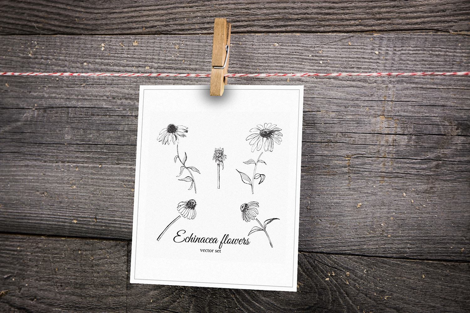 Set with sketches of echinacea flowers.  example image 6
