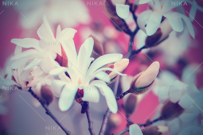 Set photos of spring flowering Magnolia. example image 3