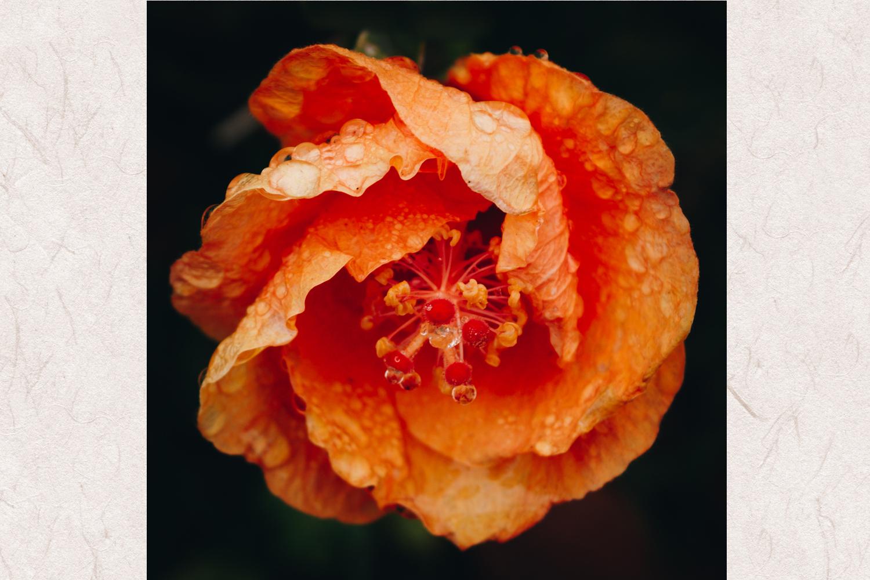 Hibiscus photo 2 example image 1