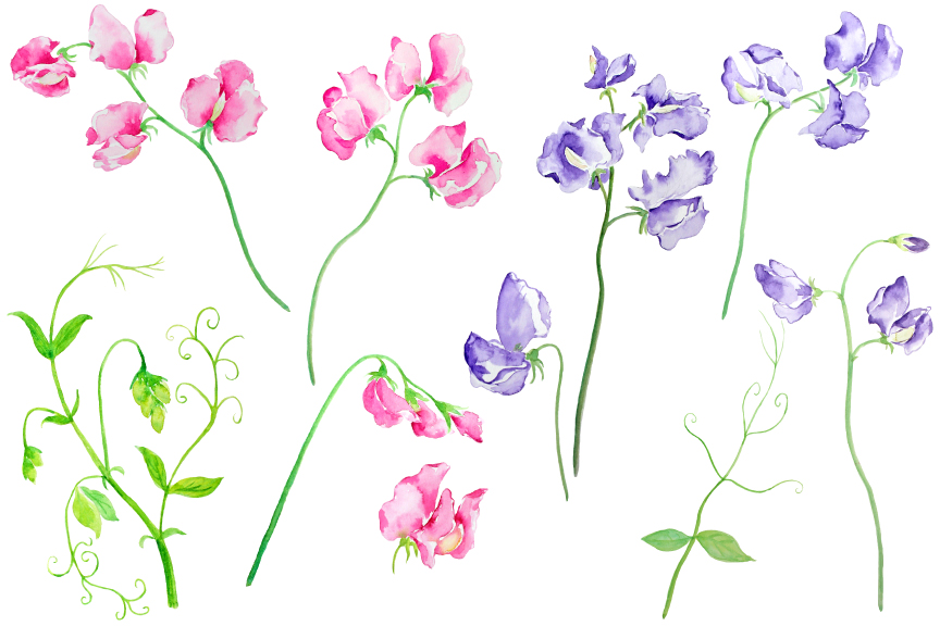 Watercolor Sweet Pea Pink and Purple Flowers Clipart example image 2