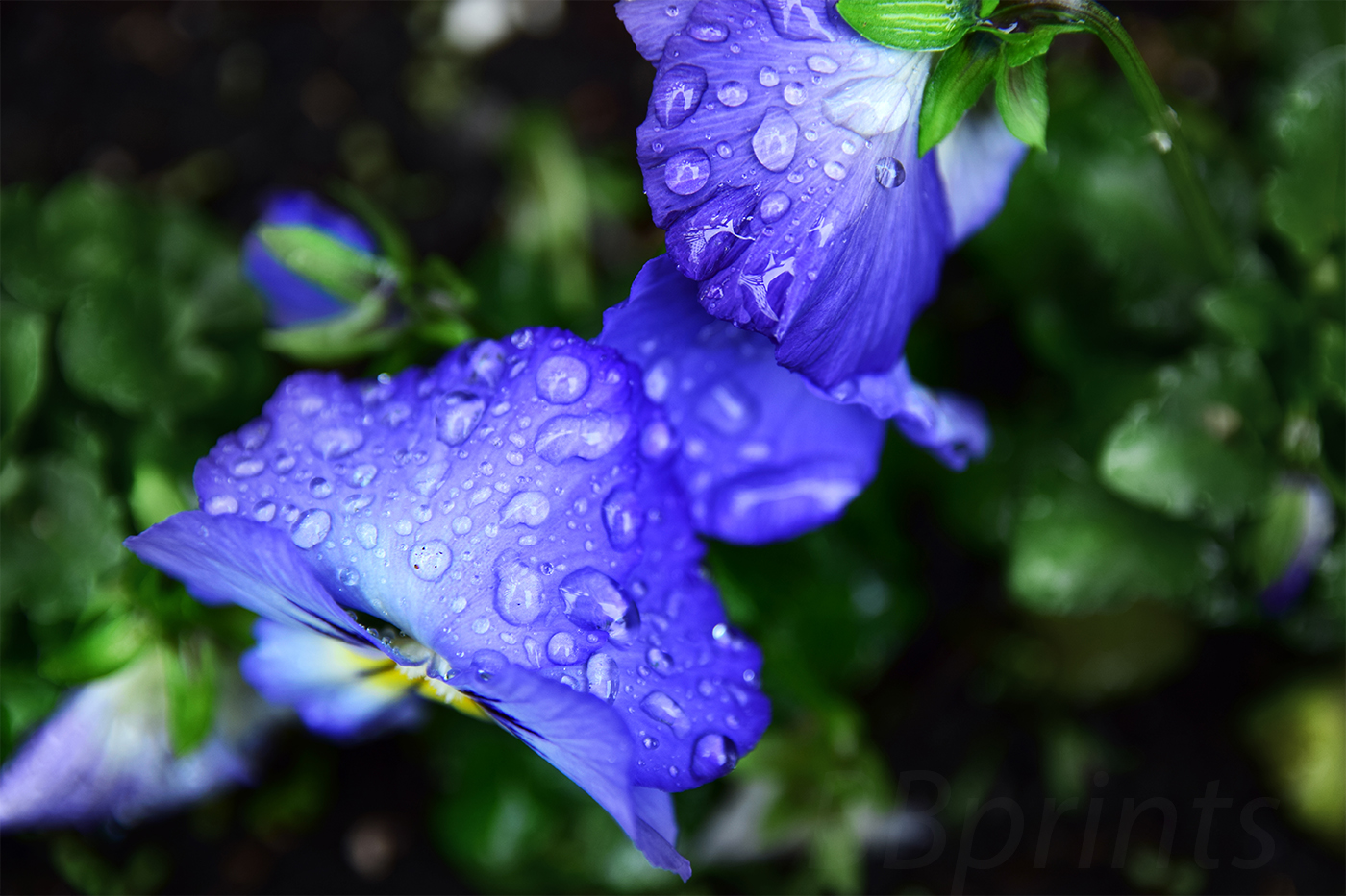 Nature photo, floral photo, spring photo, pansies photo example image 1
