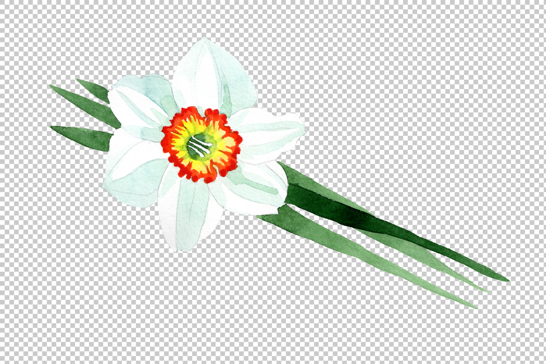 White narcissus Watercolor png example image 2