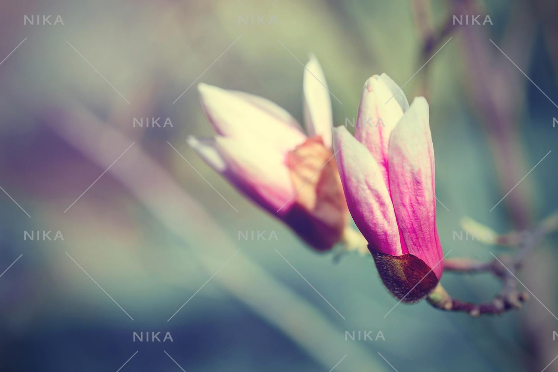 Set photos of spring flowering Magnolia. example image 5