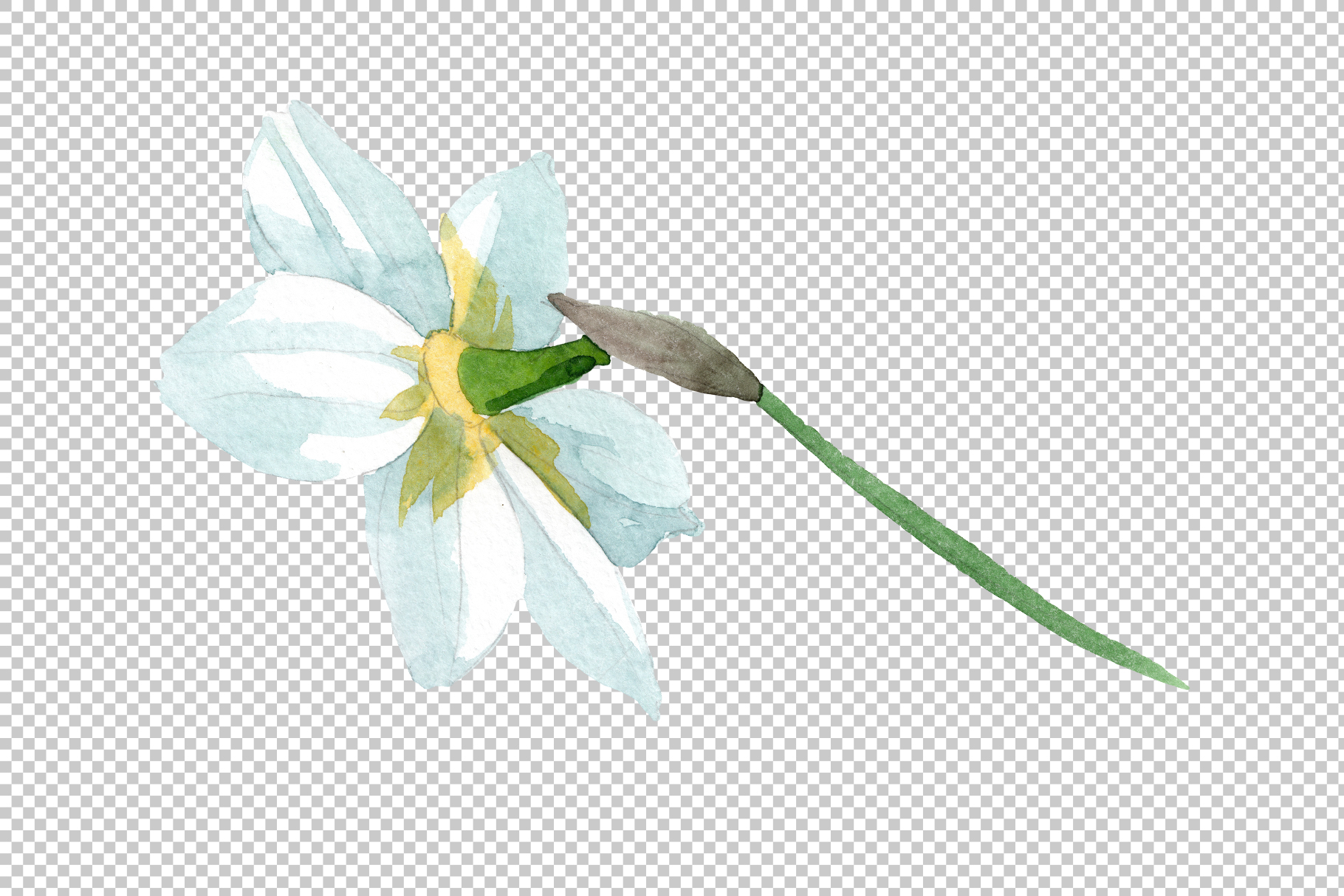 White narcissus Watercolor png example image 6