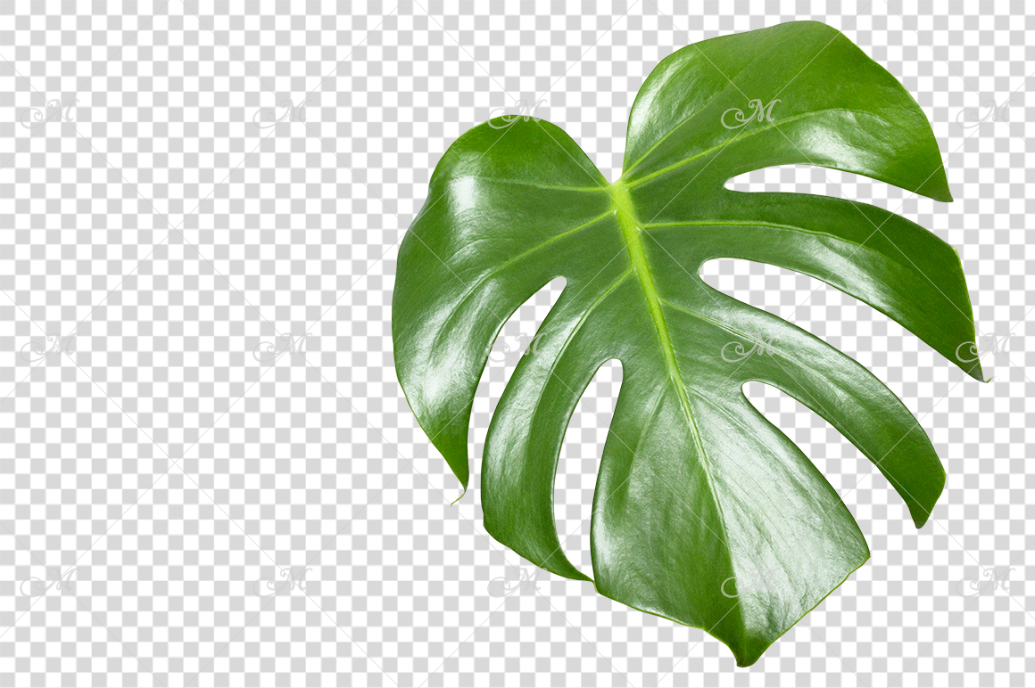 Monstera Leaf Photo Clip-art example image 2