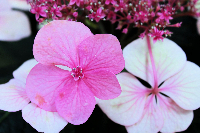 BEAUTIFUL HYDRANGEA FLOWERS example image 1