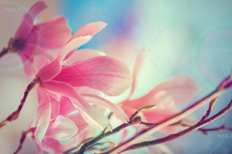 Set photos of spring flowering Magnolia. example image 8