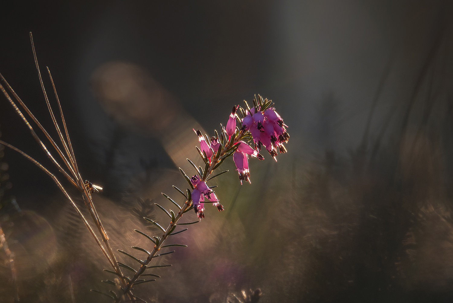 Erica plant in the early morning example image 1