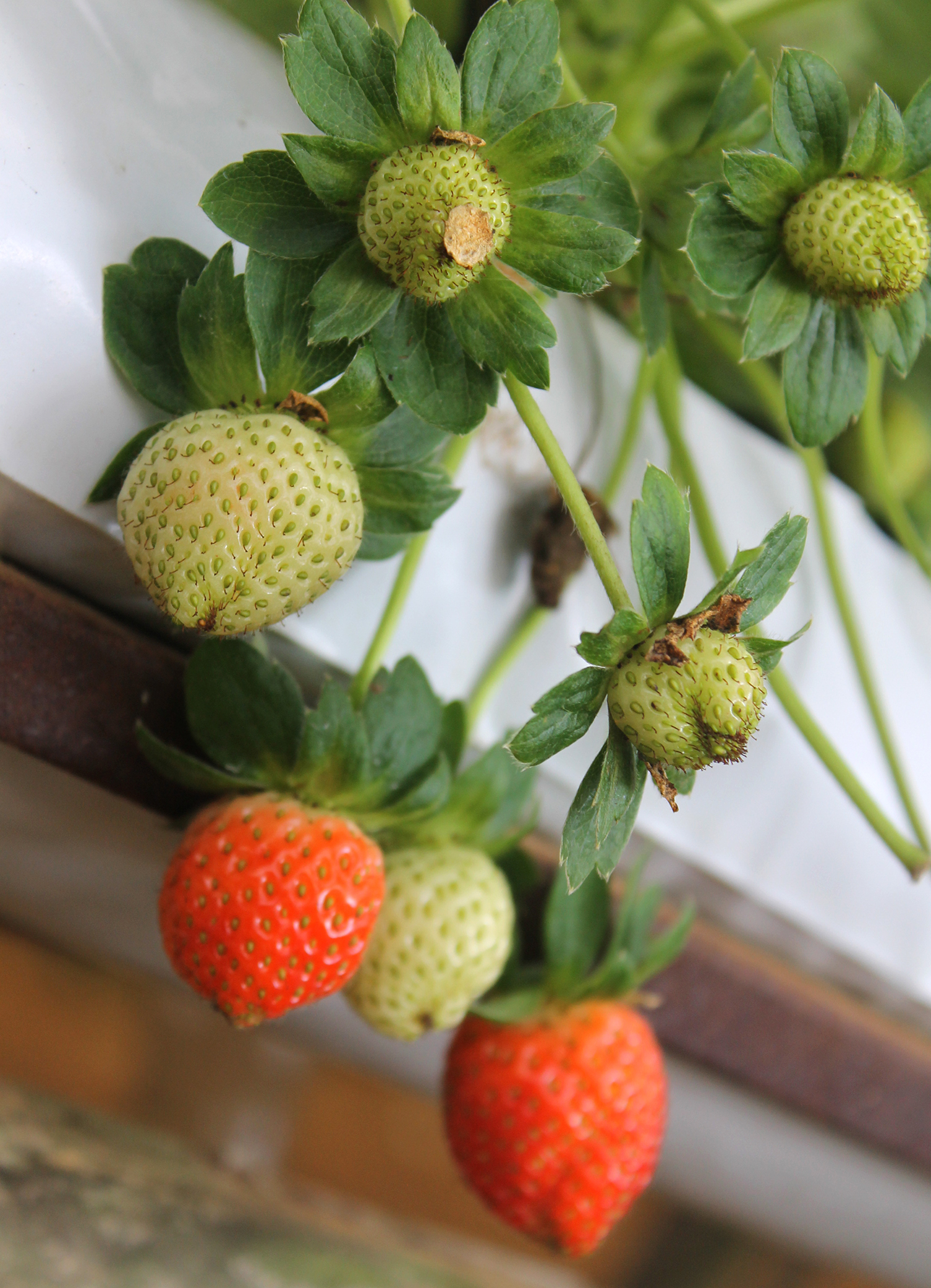 Strawberry example image 6
