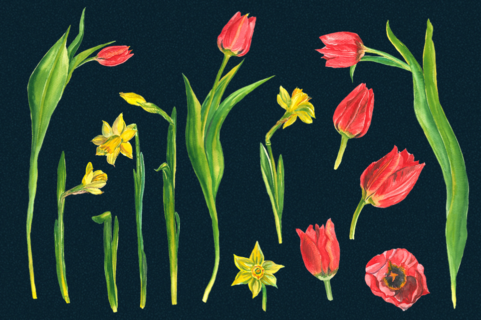 Spring flower clipart, Tulip clipart, narcissus clipart example image 4