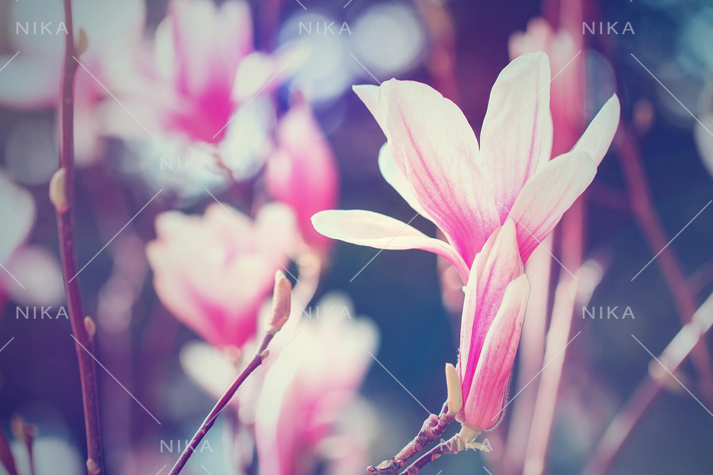 Set photos of spring flowering Magnolia. example image 2
