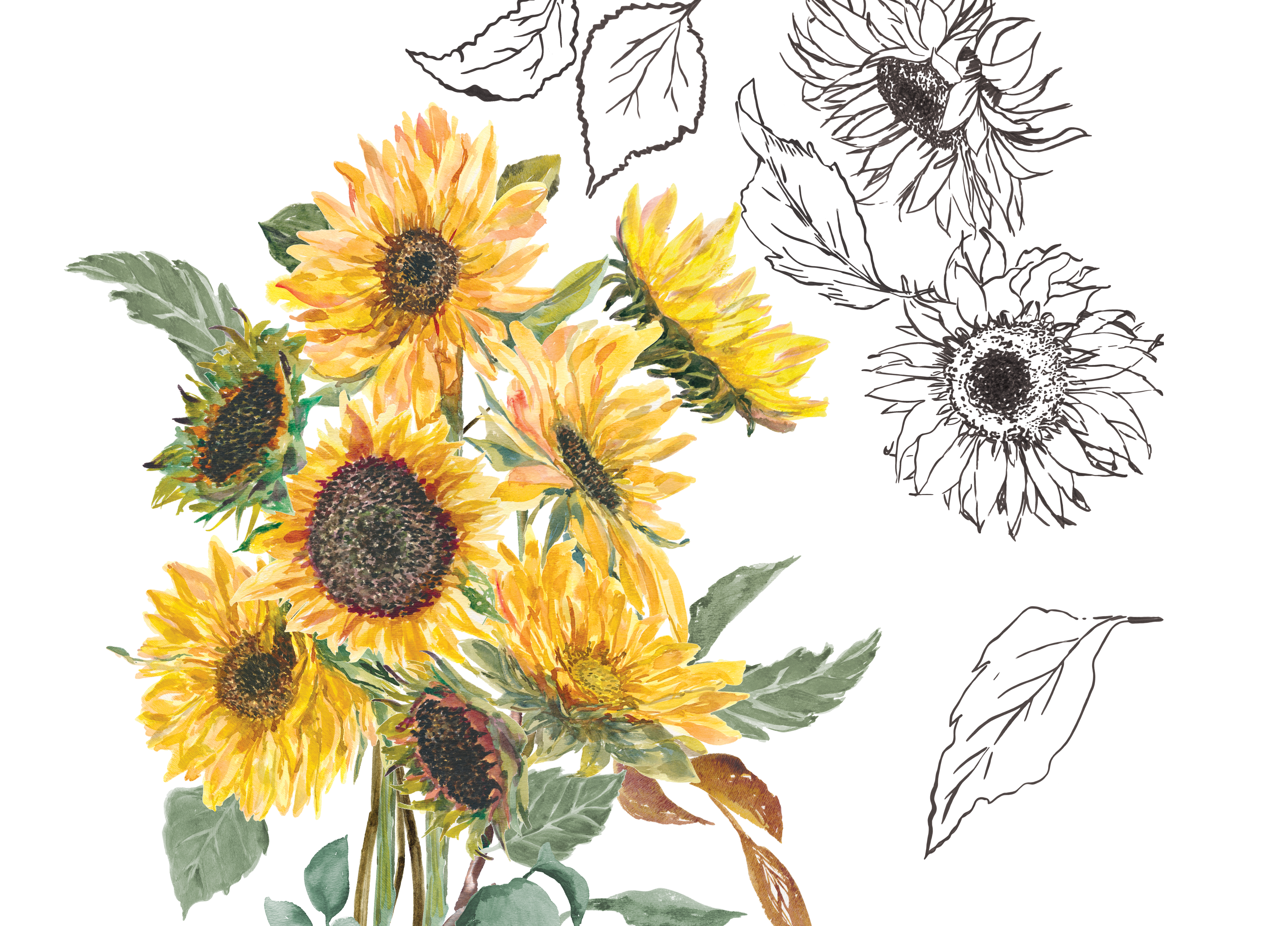 Hand Painted & Hand Drawn Watercolor Sunflower Clip Art