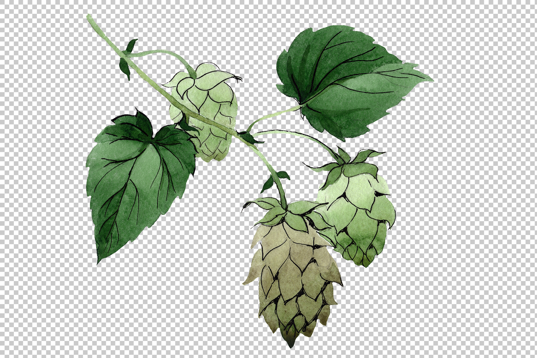 Green watercolor hops png set example image 2