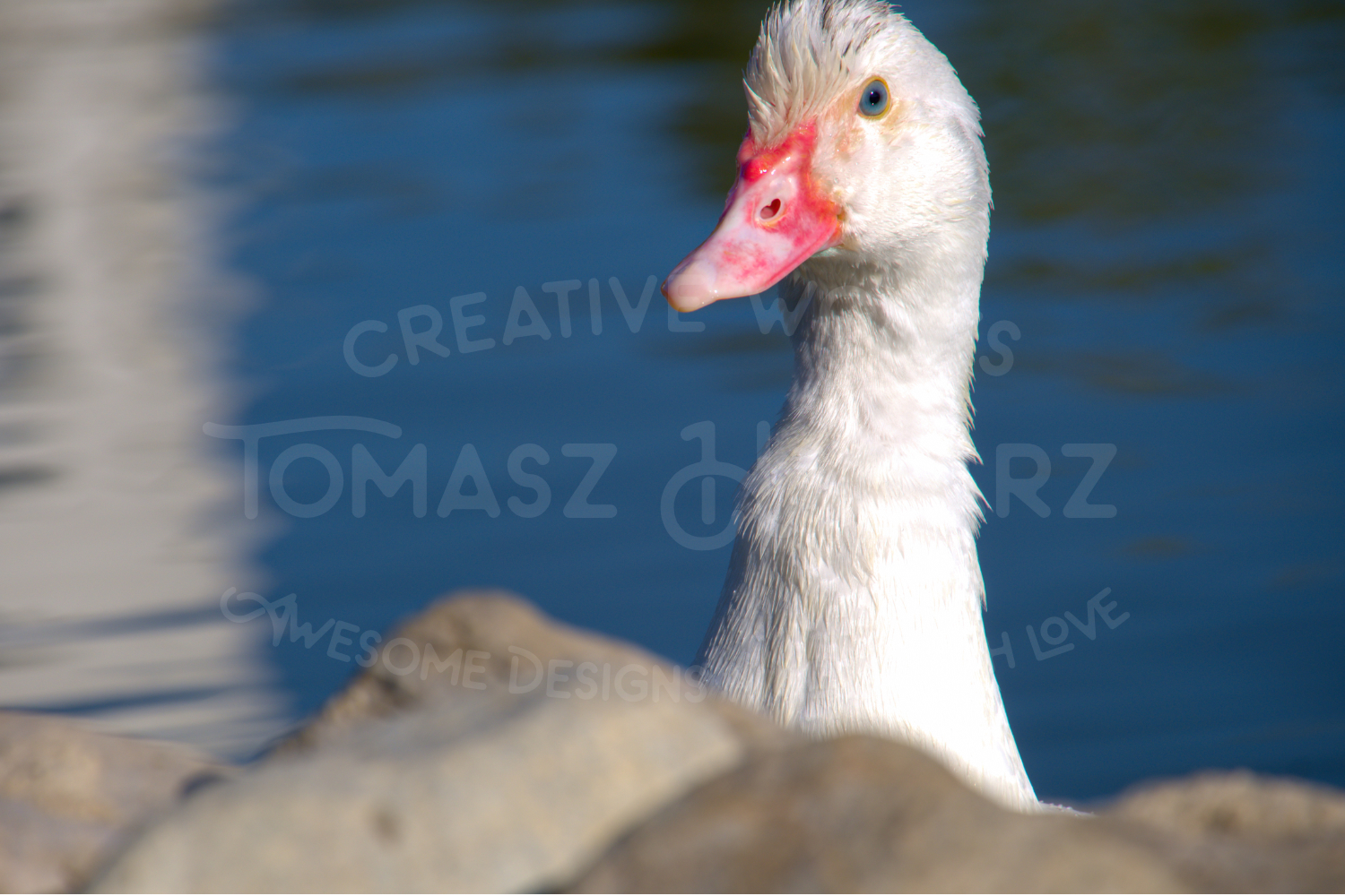 White Duck Behind Stones example image 1