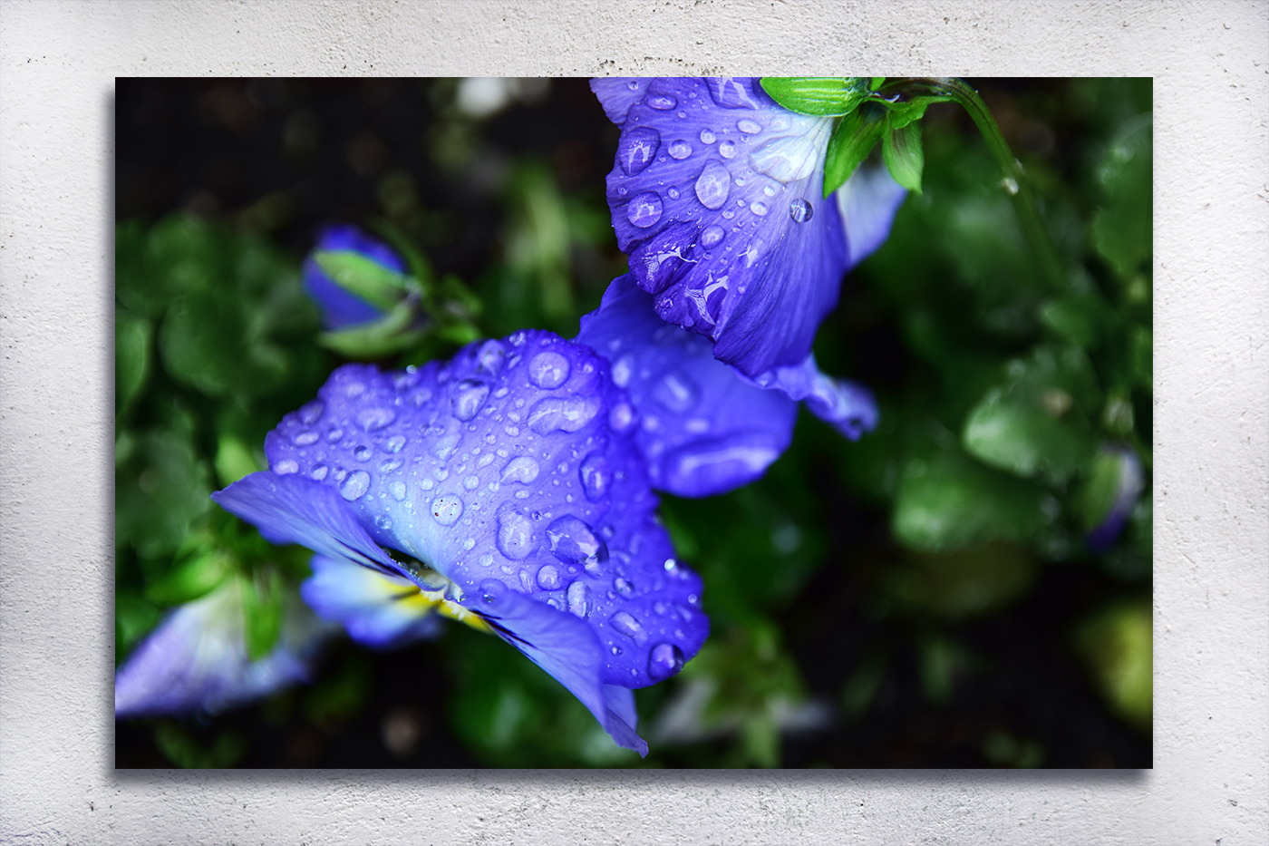 Nature photo, floral photo, spring photo, pansies photo example image 2